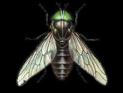 horse_fly